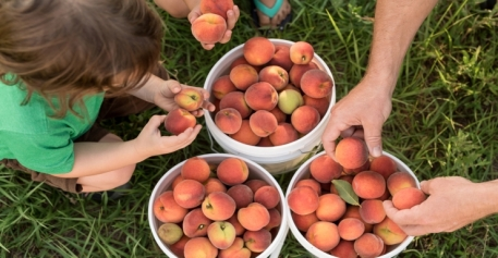 peach_picking_in_new_jersey_bergen_county_740_385_c1